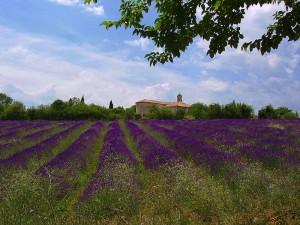 Lavendelfeld bei St. Privas nahe Barjac