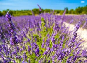 Lavendel in der Provence, Frankreich